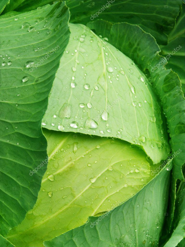 Vegetables cabbage