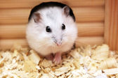 Photo White phodopus hamster