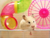 Photo Syrian hamster