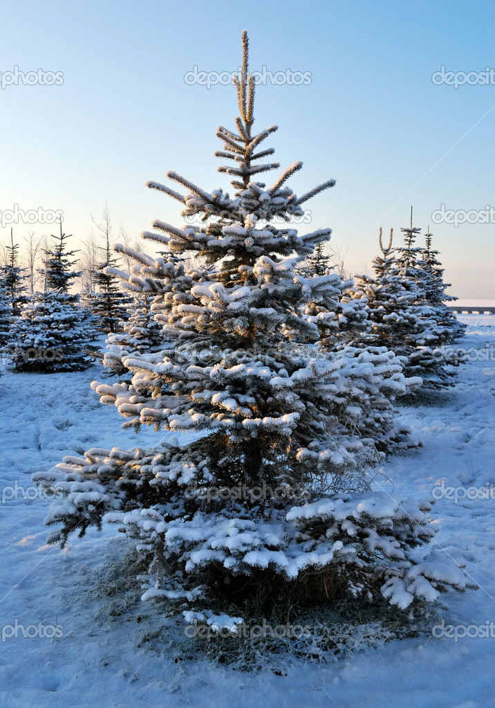 Frosted fir trees at dawn