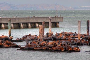Seals in San Francisco Port, August 2003 stock vector