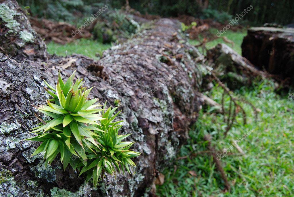 Araucaria sprout