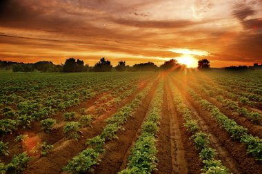Sunset on the potato field