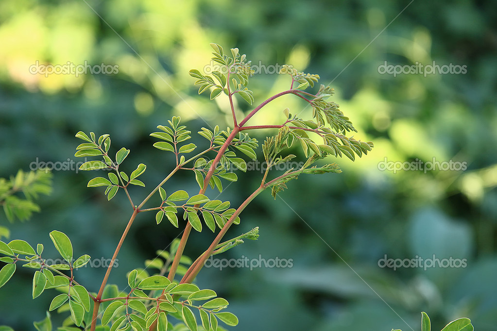 Moringa oleifera (tree of life)