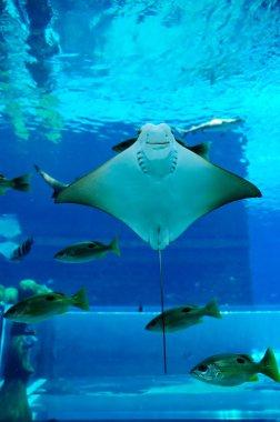 Smiley Ray in the aquarium