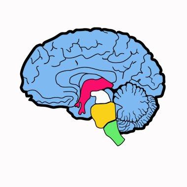 Anatomy scheme of brain