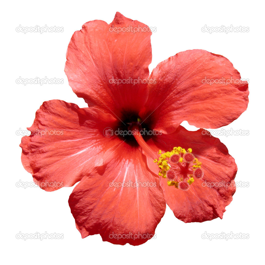 Red hibiscus flower stock photo sergioyio 1267533 red hibiscus flower also known as rosemallow or hibiscus rosa sinensis isolated over white background spanish rosa china o flor de jamaica photo by izmirmasajfo
