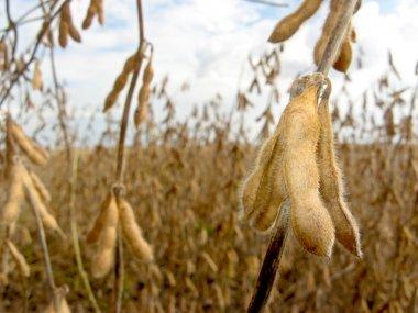 Soy bean field