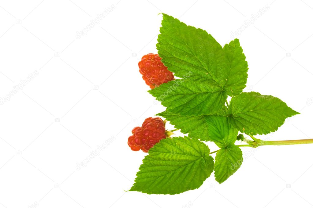 Raspberry with stem and leaves