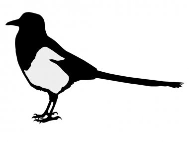 Silhouette of magpie