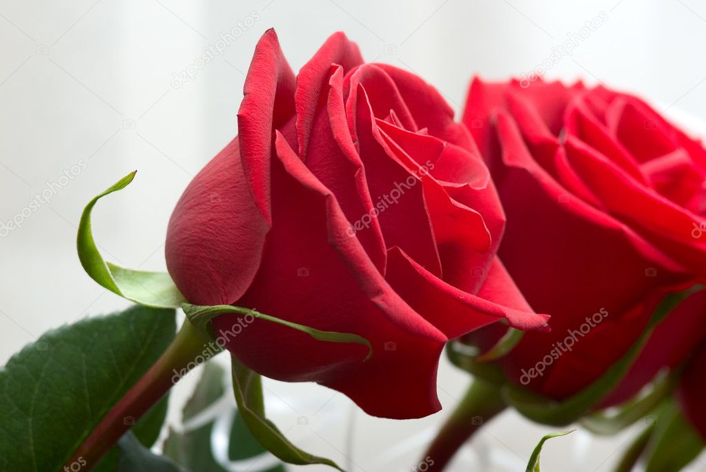 Brightly red roses