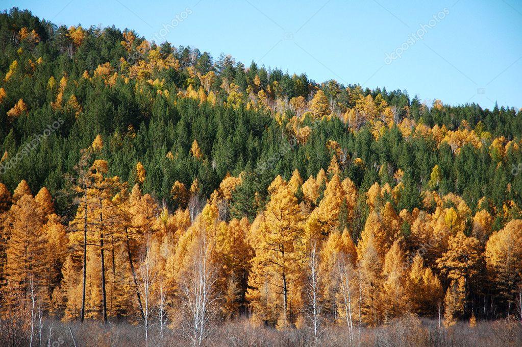 Siberian taiga in autumn