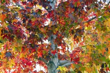 Trident Maple leaf in fall season
