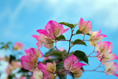 Blühende bougainvillea