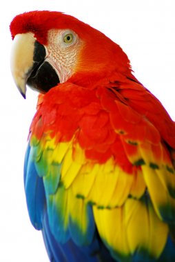 Red blue macaw bird isolated
