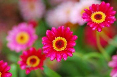 Pink Pendula Ilex Flower