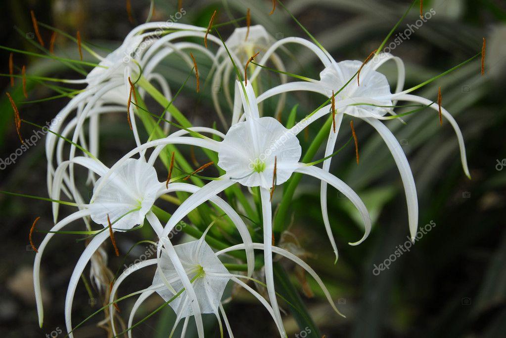 Кринум фото цветок