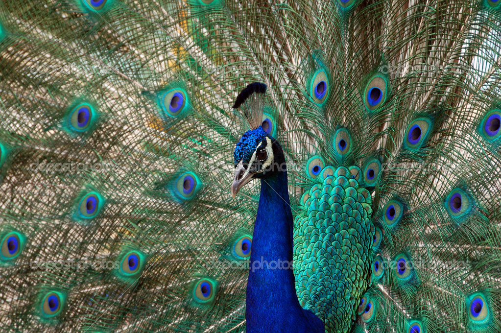 Peacock bird dance