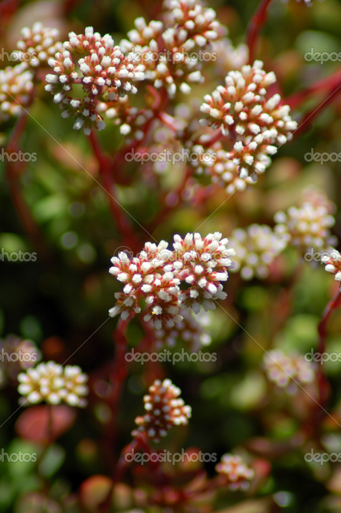 Red White Aloe Succulent Flowers Stock Photo 1332454
