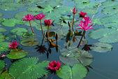 Leknín růžový květ v rybníku