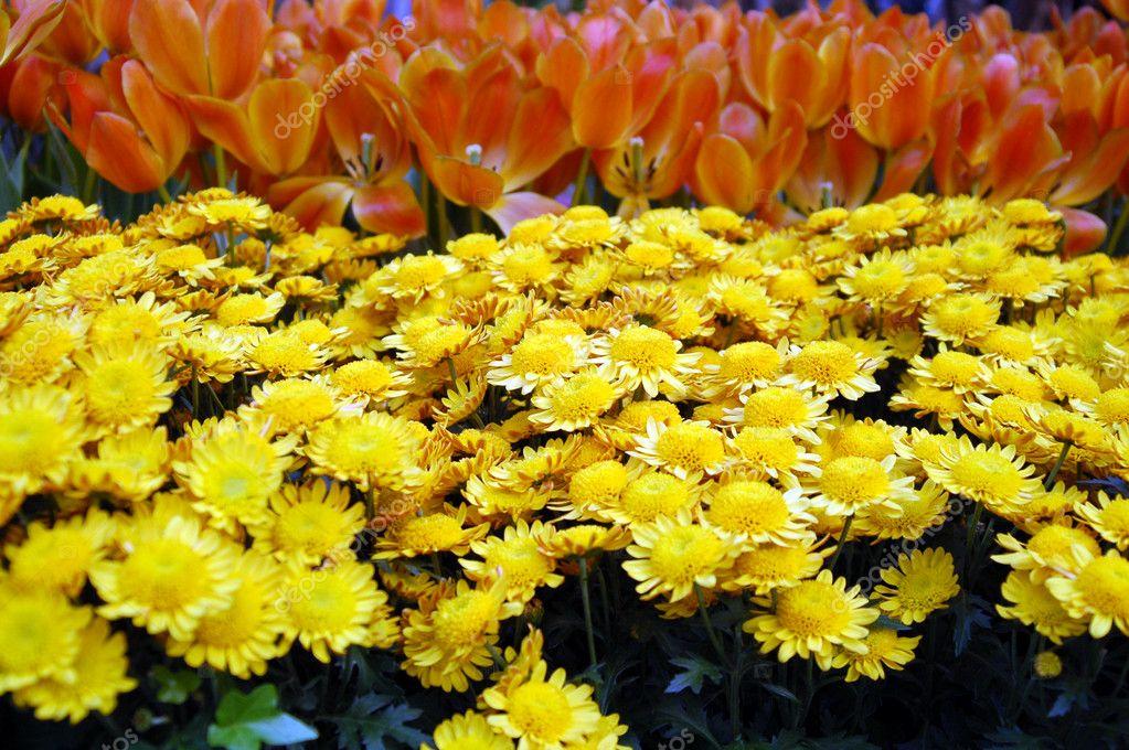 Orange Tulip and yellow daisy Flowers