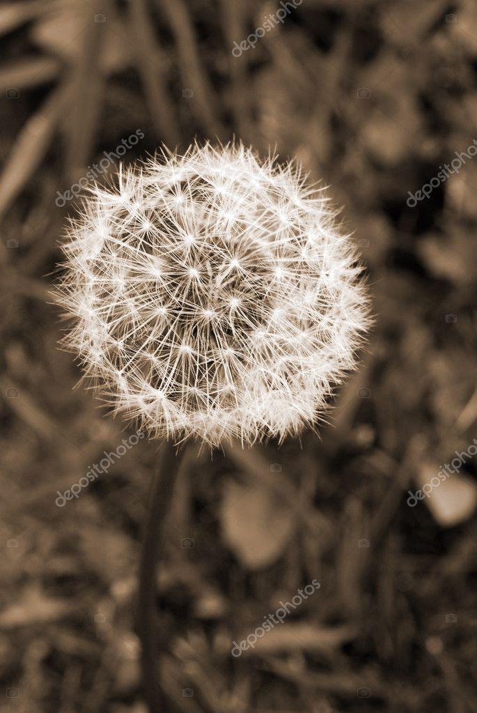 Dandelion Flower Seed Head sepia