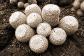 kaktusz mammilyaria geminispina szépia