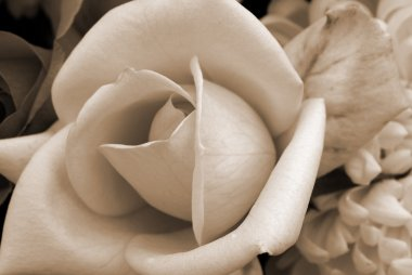 White Rose Flower sepia