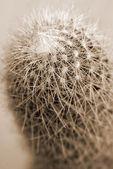 kaktusz mammilaria növény szépia