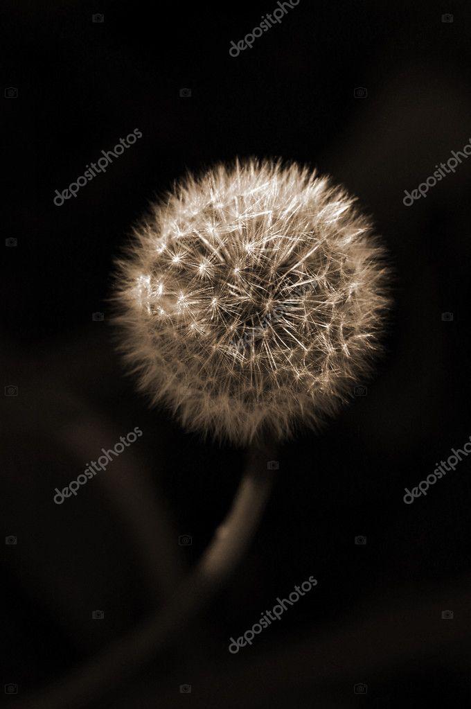 Dandelion Flower sepia