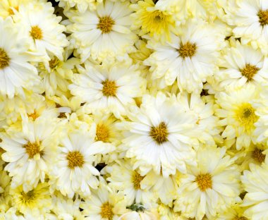 Beautiful yellow flowers background