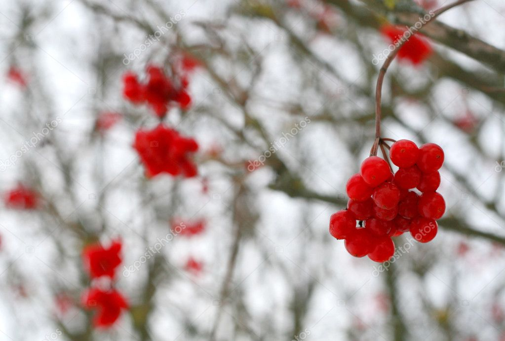 Close-up of red viburnum berries
