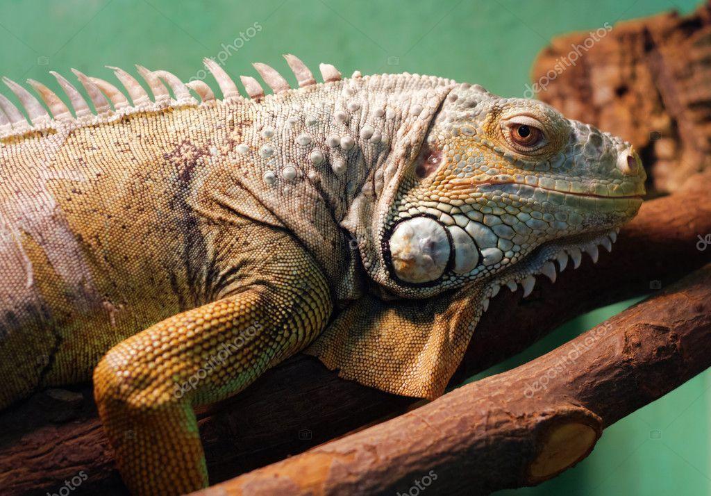 Iguana closeup portrait