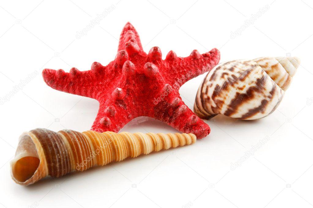 Colored Seashells (Starfish and Scallop)