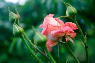 Pink Rose Flower with Buds and Early Dew