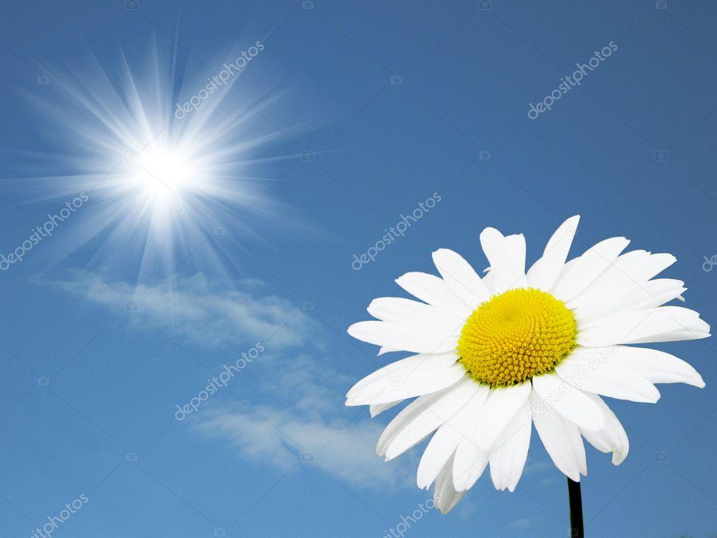 Camomile in the solar sky