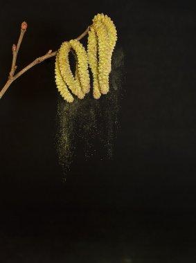 Pollen falling from birch