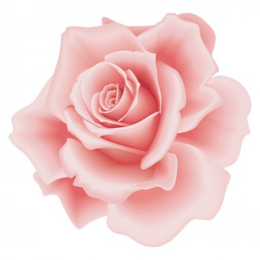 Isolated Beautiful Pink Rose on the White Background clip art vector