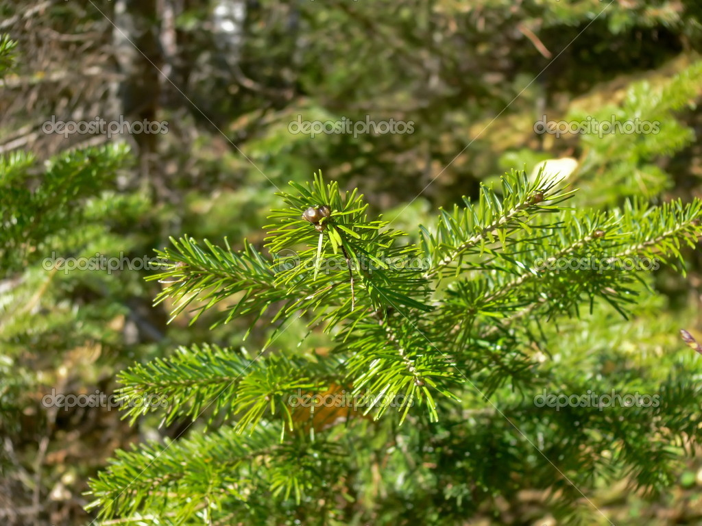 Fur-trees branch close up