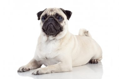 Pug isolated on white background