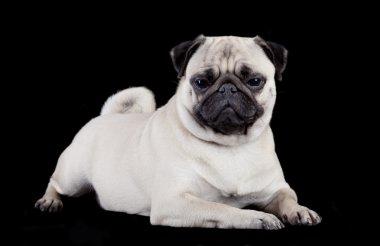 Pug on black background