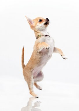 Chestnut chihuahua jumping