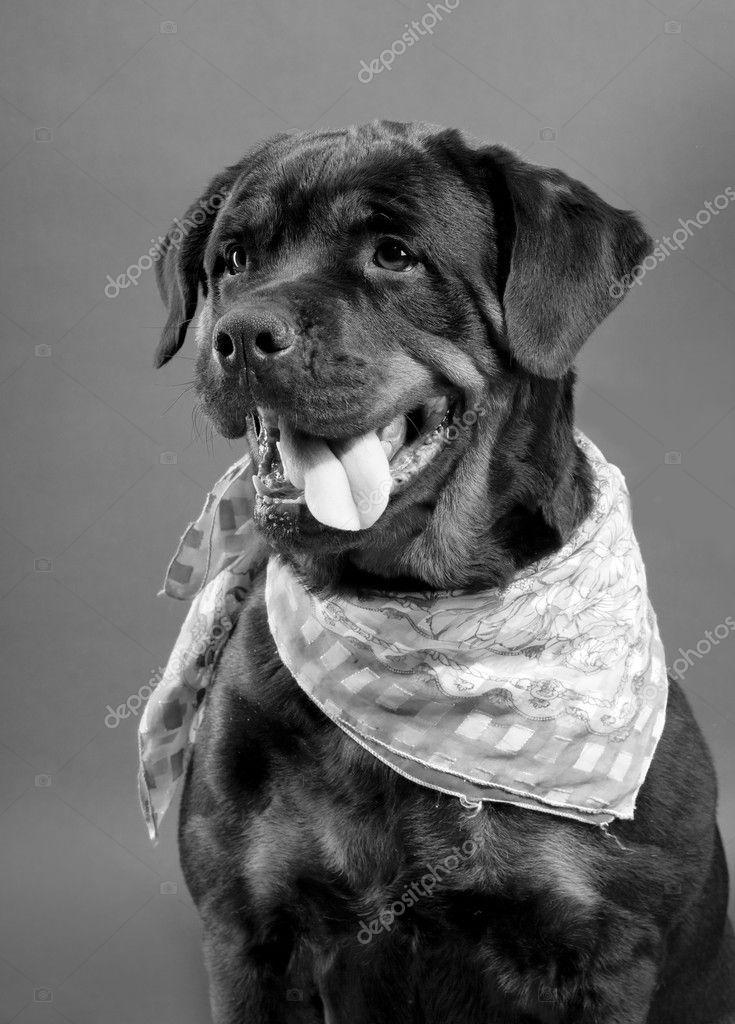 Rottweiler isolated on black backgroud
