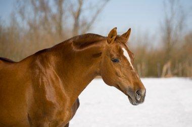 Chesnut trakehner stallion in winter