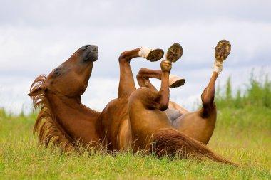 Horse playing (chestnut trakehner horse)