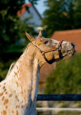Portrait of appaloosa arabian horse