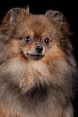 Fényképek Pomeranian spitz-dog on black background