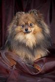 Fényképek Spitz-dog on texture background