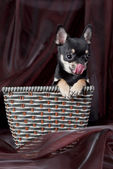 Fényképek Сhihuahua dog in the basket