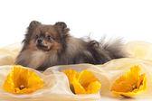 Fényképek Spitz-dog on texture background (orange)